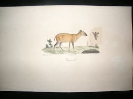 Saint Hilaire & Cuvier C1830 Folio Hand Colored Print. Grimm Male